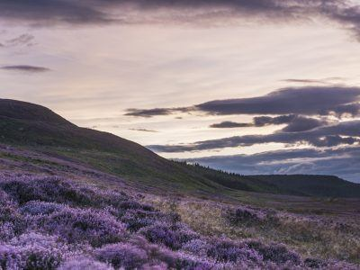 Heather in bloom on the slopes of the Beacon on the route to Simonside Hills, an important part of the landscape.