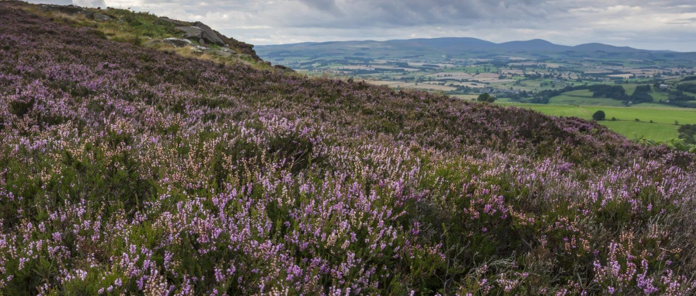 Heather moorland at Simonside