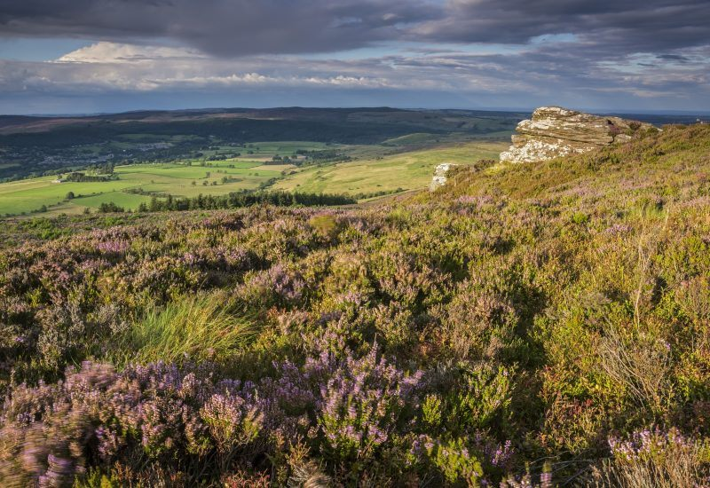 Heather in bloom on the slopes of the Beacon on the route to Simonside, Rothbury, Northumberland National Park.