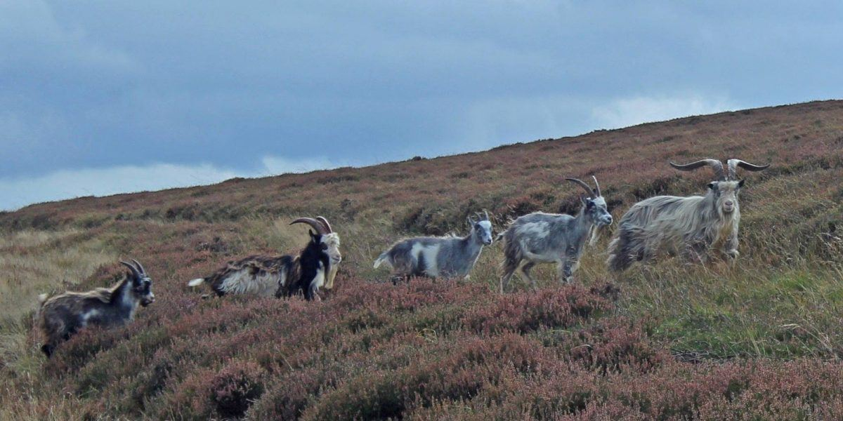 Feral Goats in the Cheviots