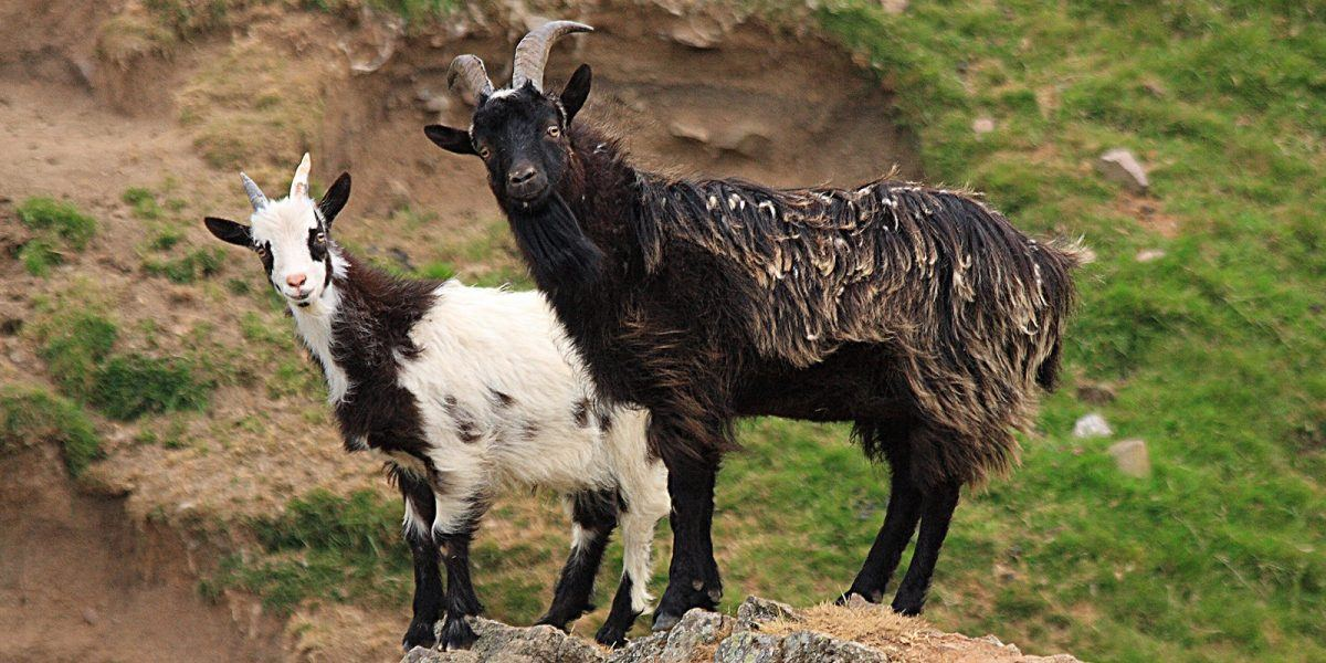 Wild Goats in the Cheviots