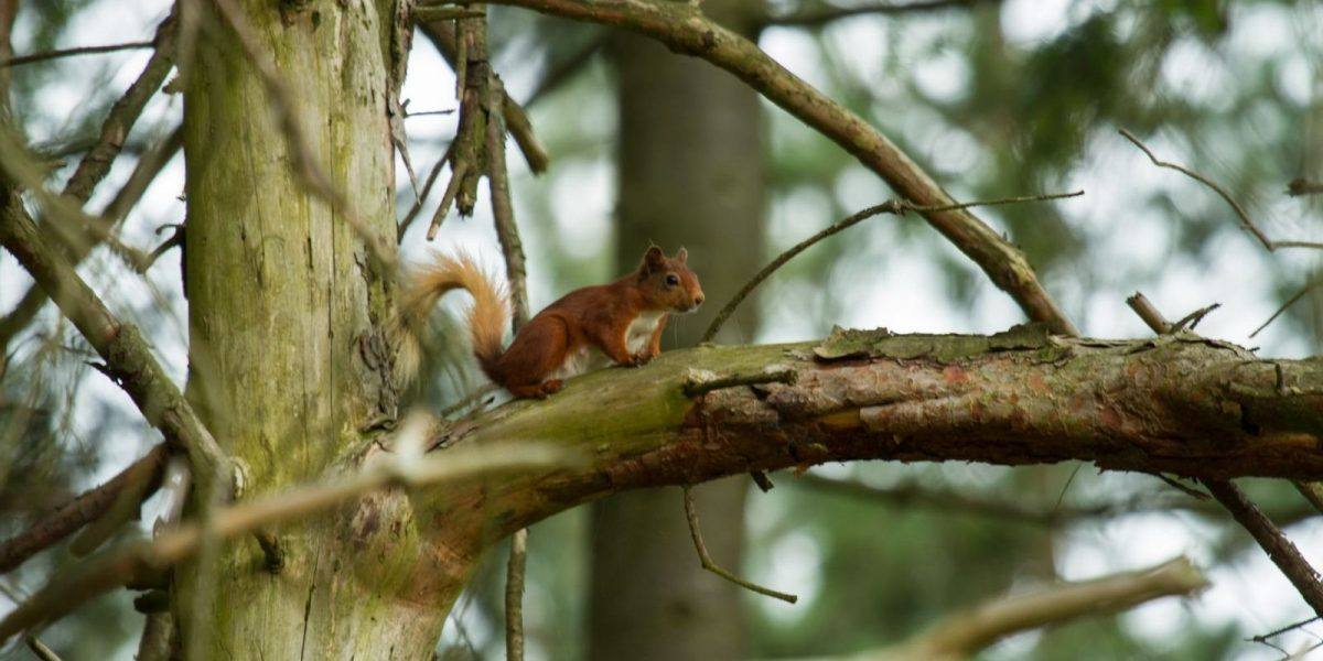 Red Squirrel at Simonside