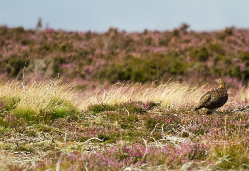 Red Grouse in Heather Moorland, an importand part of Park's ecology