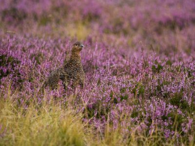Red Grouse in heather