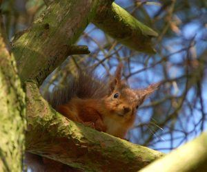 a Red Squirrel in trees