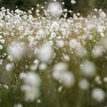 Cotton grass growing in peat bogs