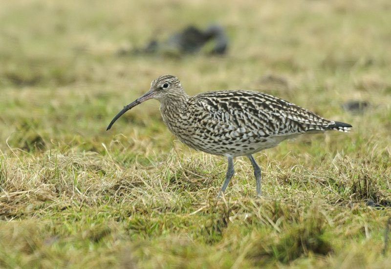 A curlew on moorland