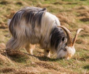 A Wild Cheviot goat in Northumberland National Park