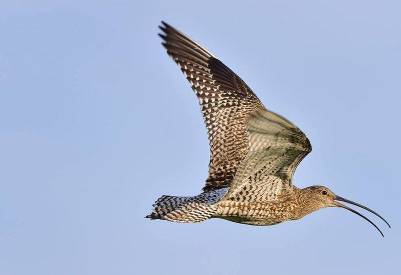 Curlew at Cochrane Pike