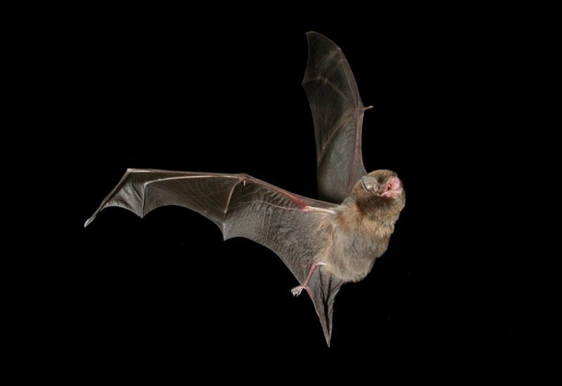 Bat in flight
