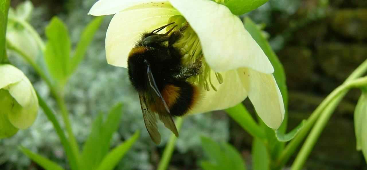 Photo of a hellebore Bumblebee