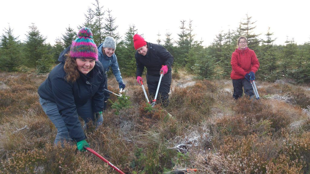 Four volunteers cutting down small Sitka Spruce trees with garden shears