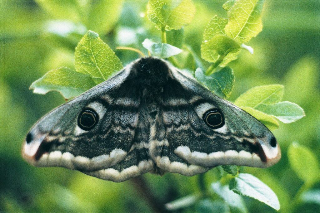 Emperor Moth © SHackett