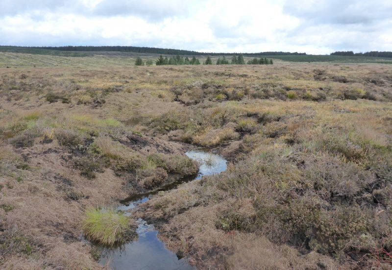 The brash has been scattered on the bare peat and is starting to green up.