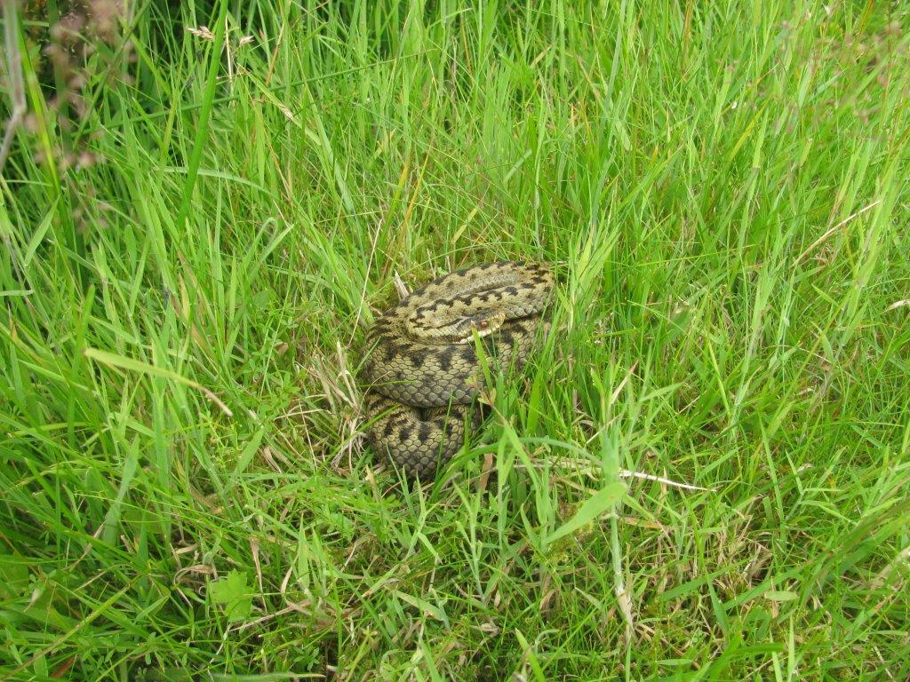 An adder hiding in the grass