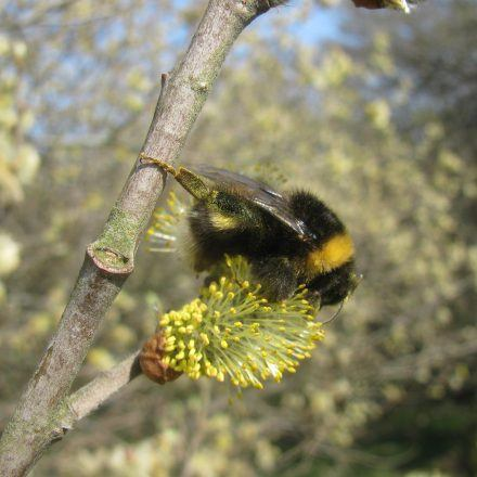 a bee collecting pollen on willow