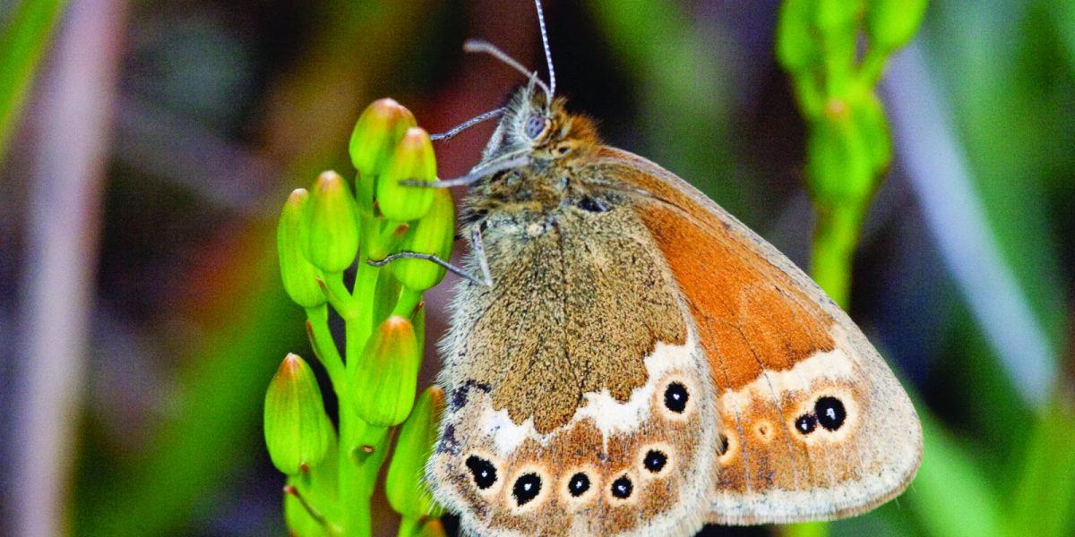a close up photos of a Large Heath butterfly
