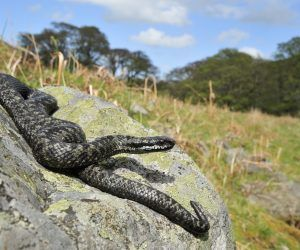 An adder basking on a rock