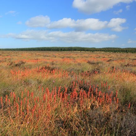 a landscape photo showing bog asphodel growing