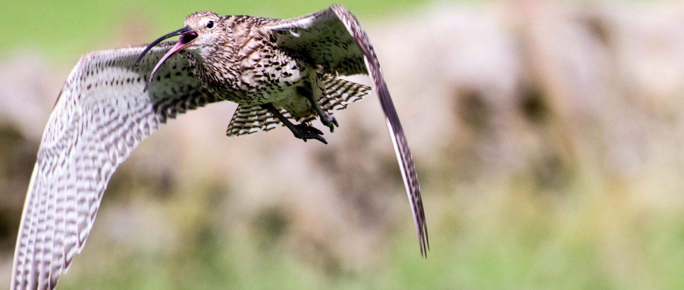 A Curlew mid flight