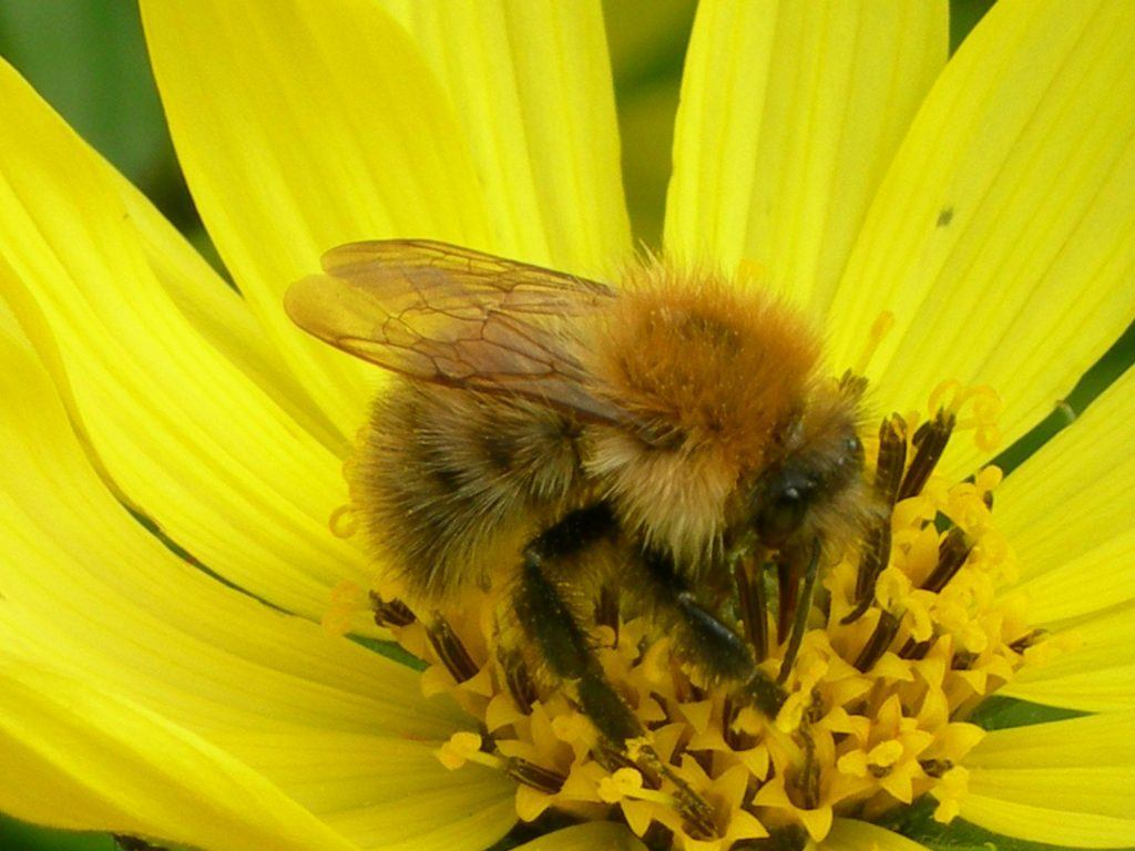 A Common carder on a yellow flower