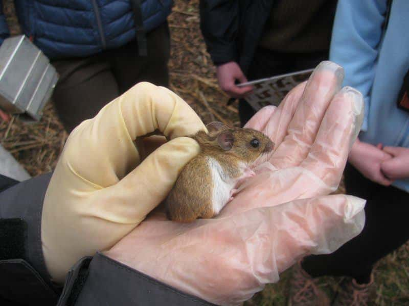a small wood mouse being held