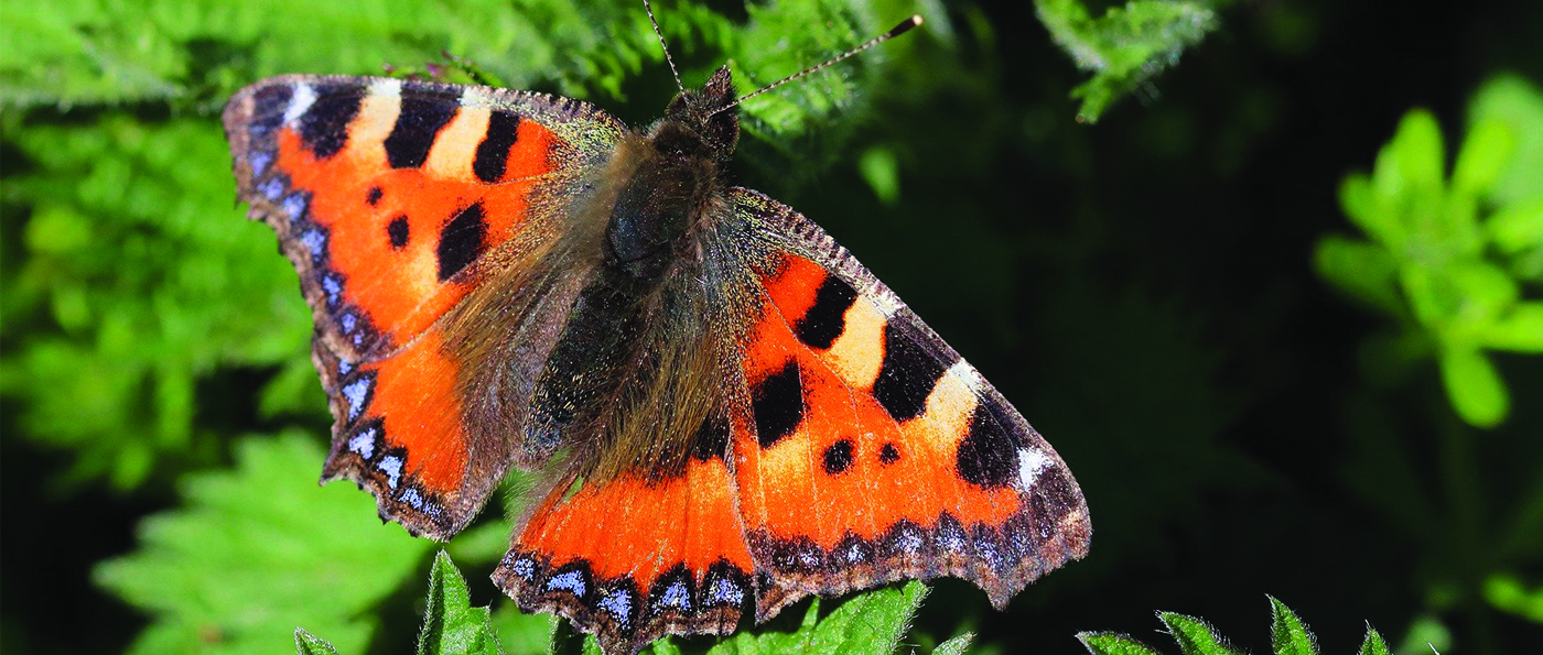 A butterfly resting on a nettle leaf