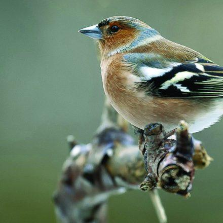A Chaffinch photograph taken by John Fotheringham from Pixabay