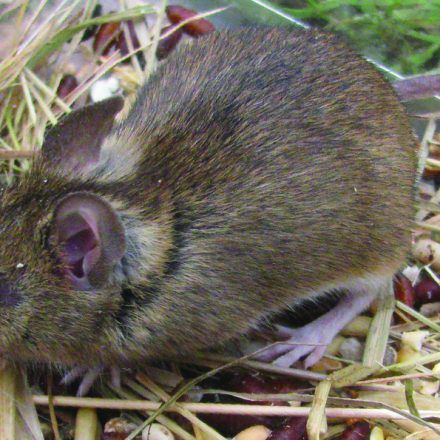A small brown wood mouse