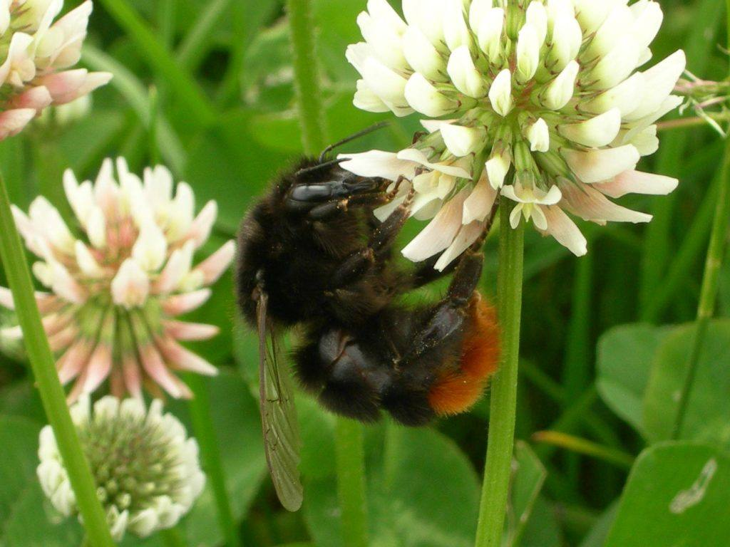 A red tailed bee on a flower