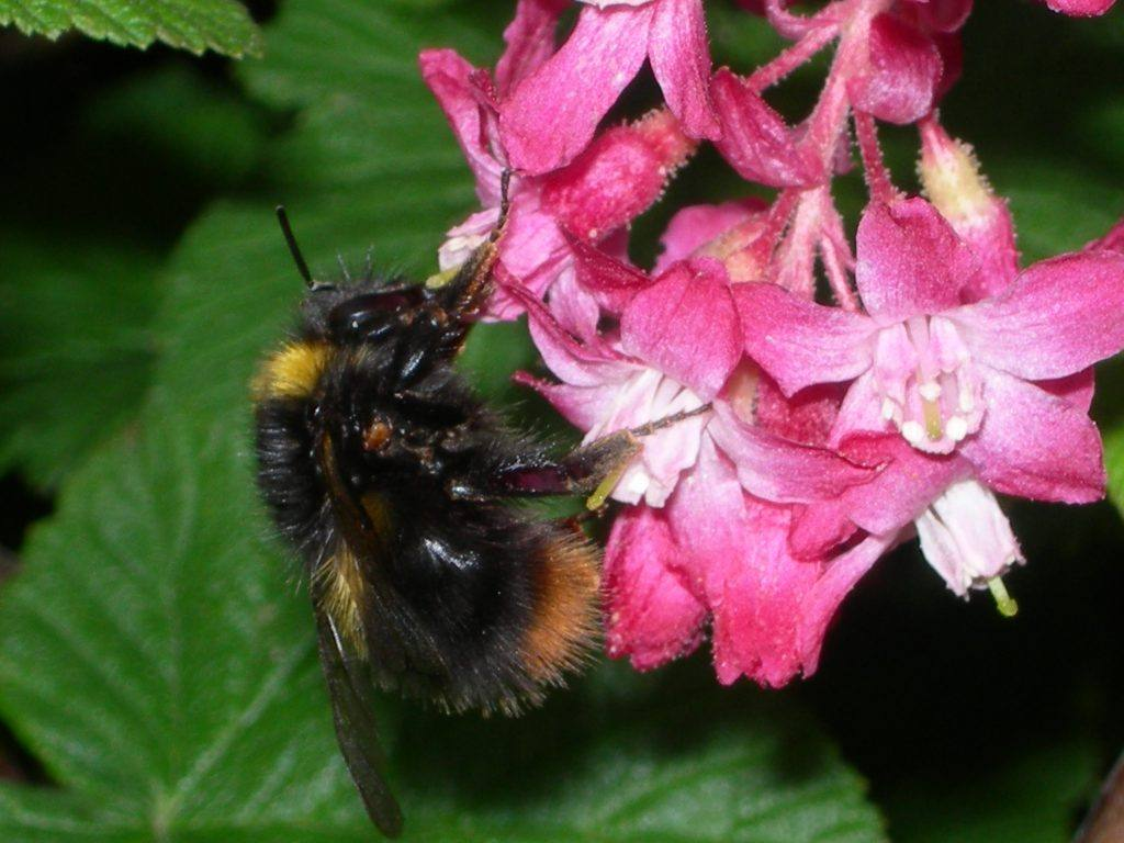Early Bumblebee on a flower