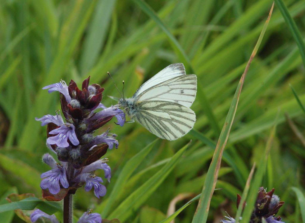 A Green-veined White Butterfly