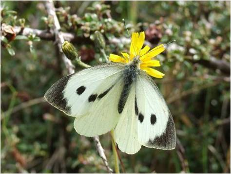 A Large White Butterfly