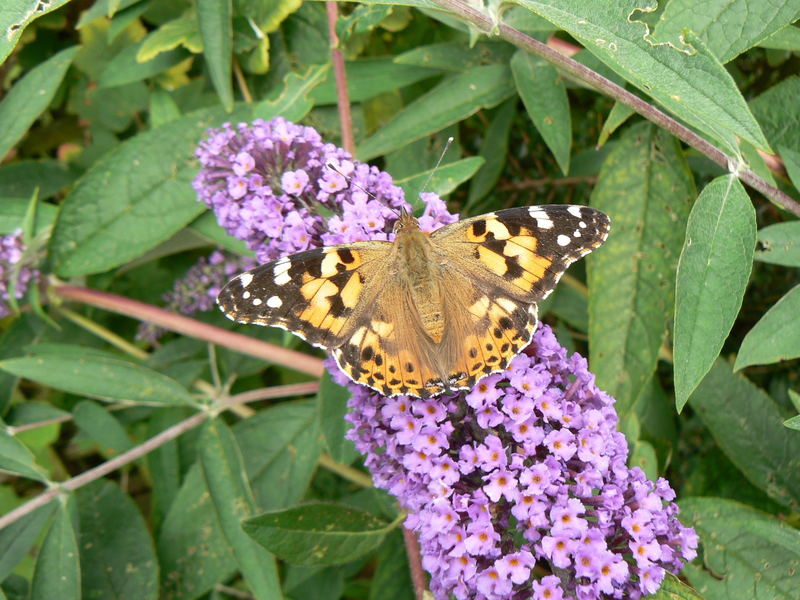 A Painted Lady Butterfly on a purple plant