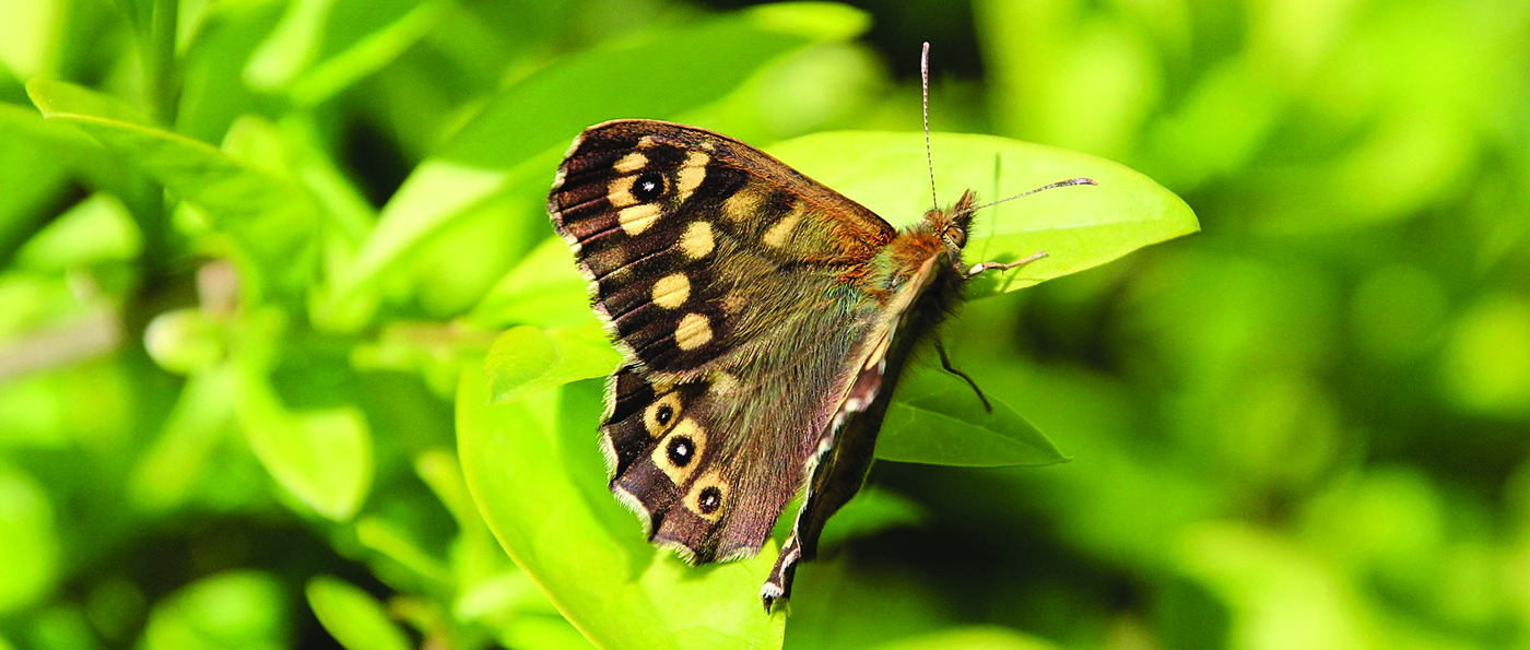 Speckled Wood Butterfly on a green leaf