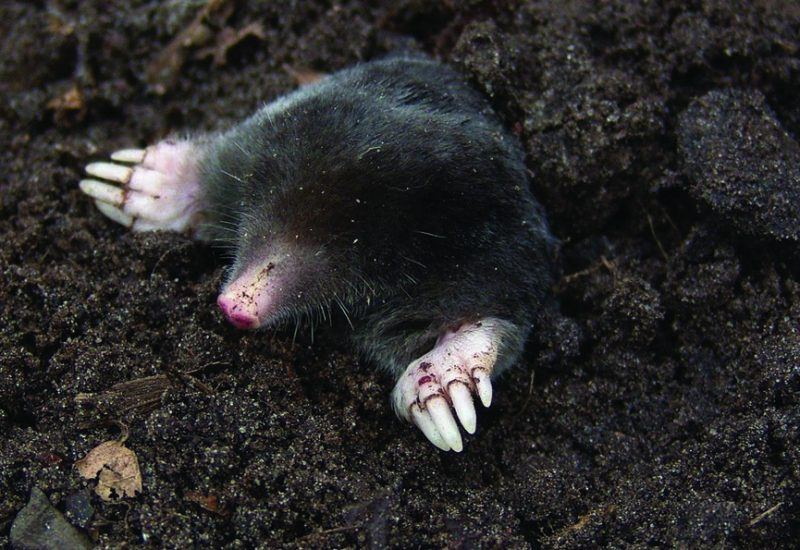 A mole emerging from the soil