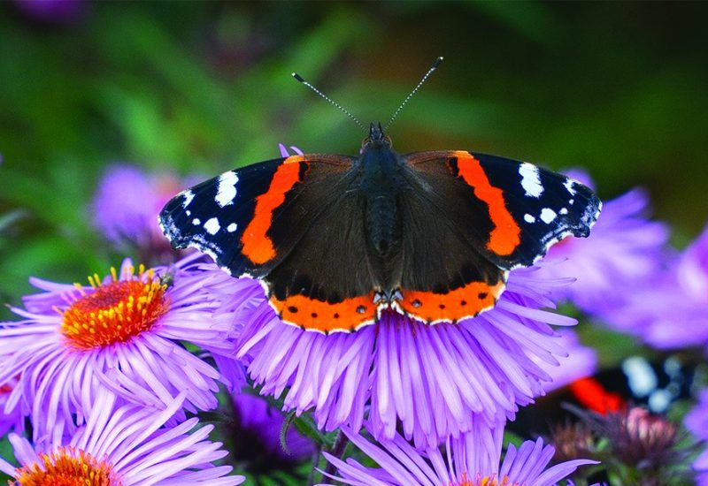Red Admiral butterfly on a colourful flower