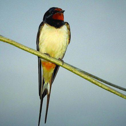 A Swallow sitting on a wire