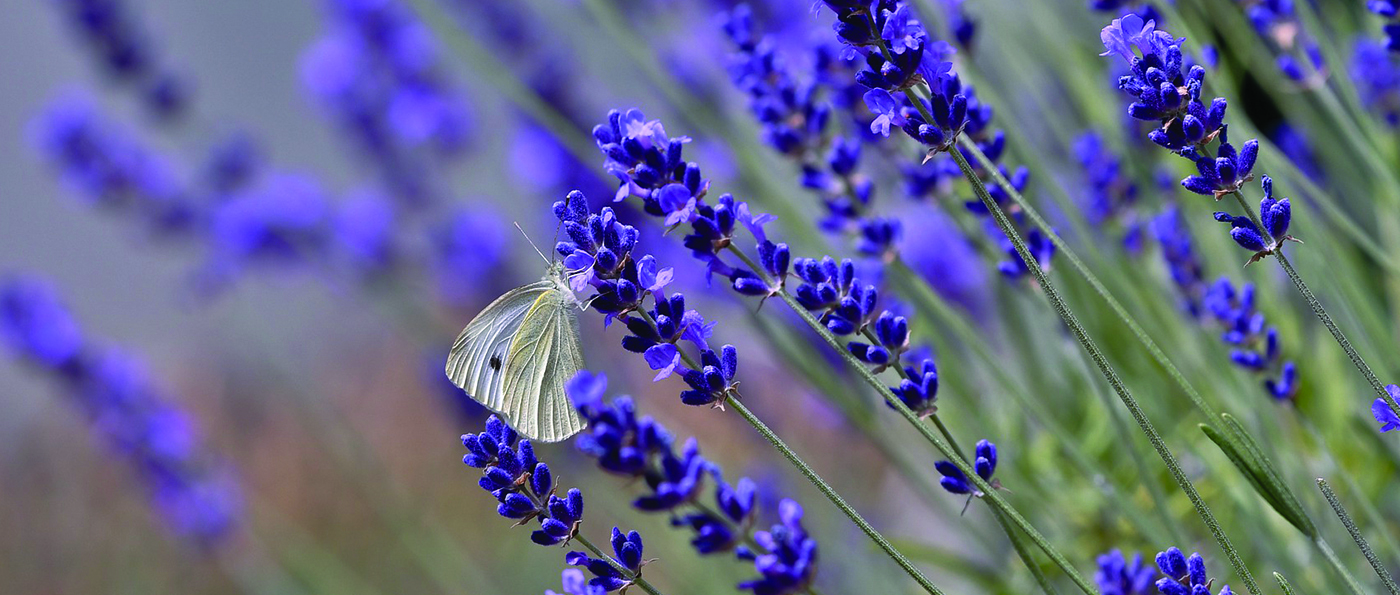 A white butterfly on purple flowers