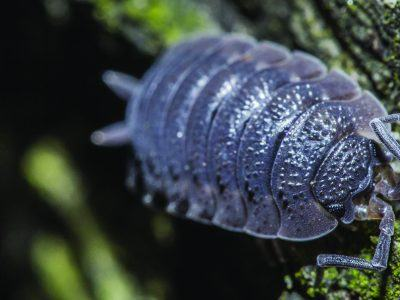 A woodlouse ona rock