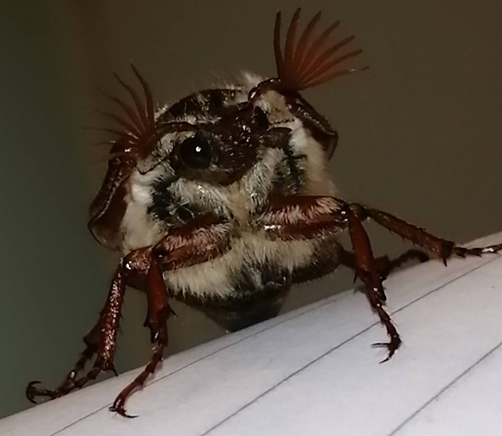 A photo of a May Bug