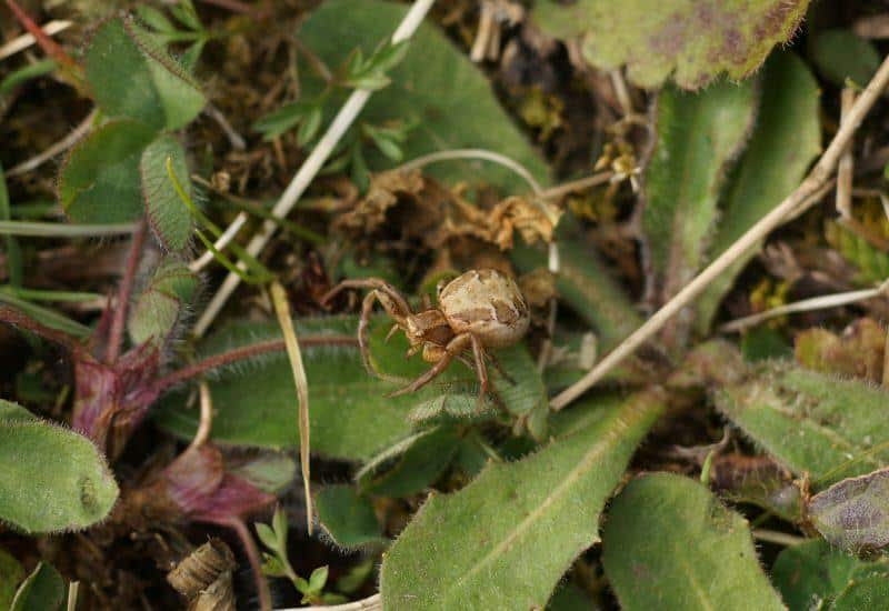 A small crab spider