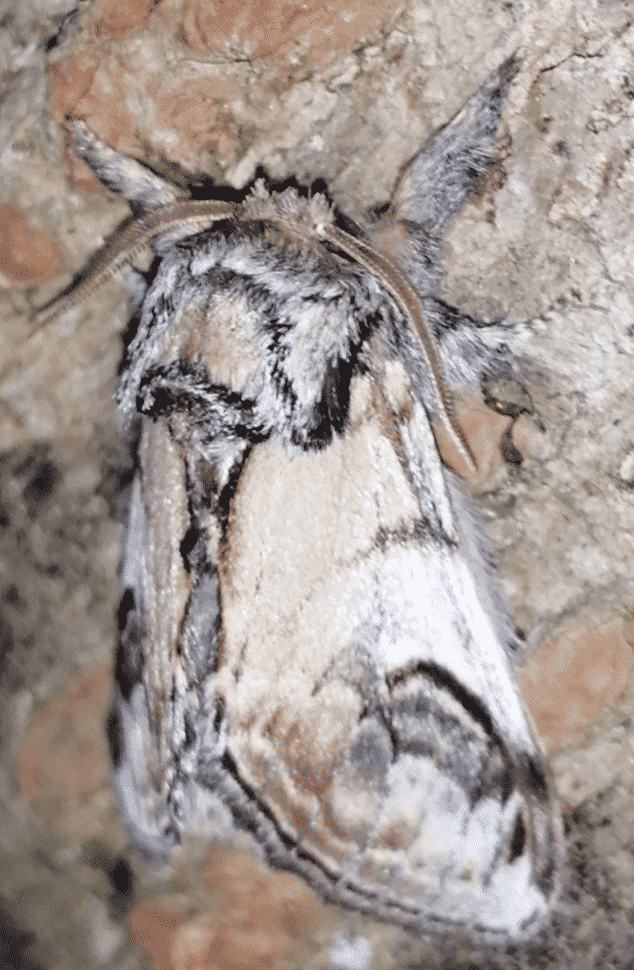 A Pebble Prominent Moth