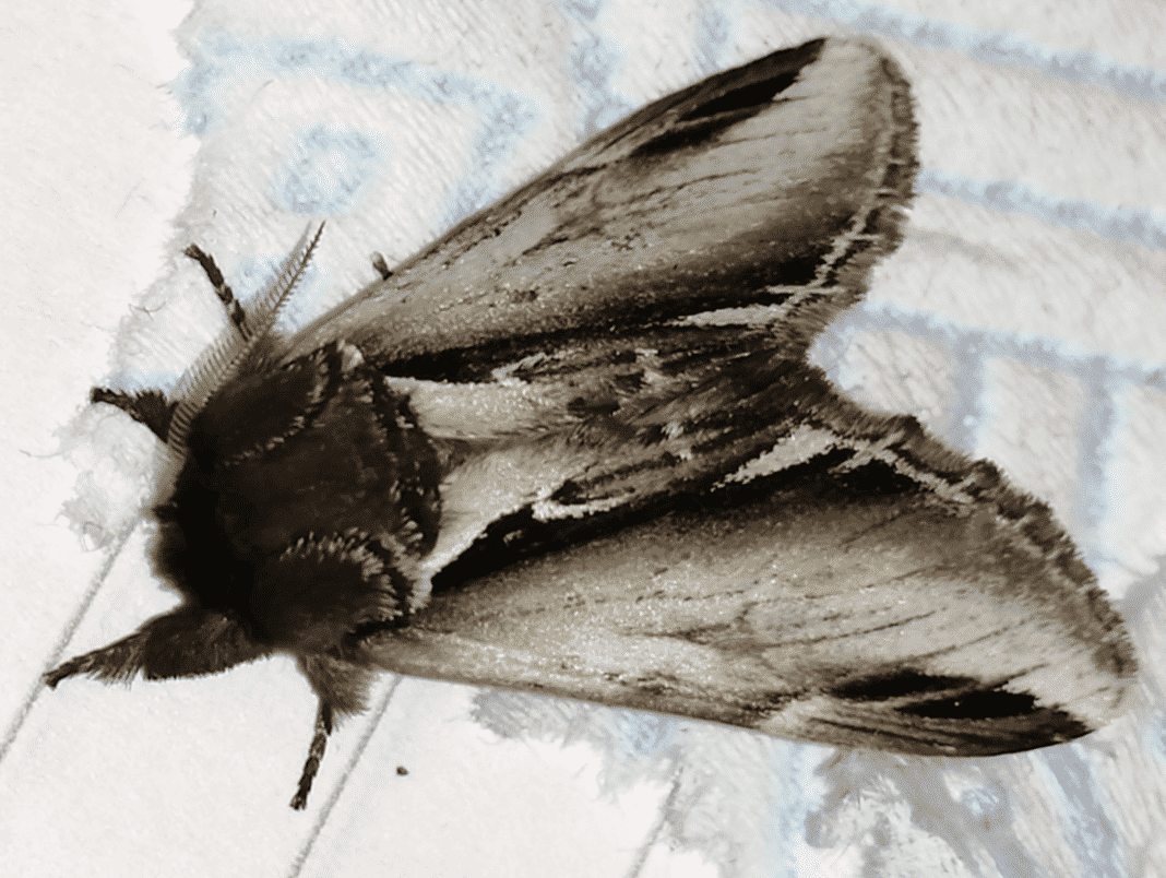 A Swallow Prominent Moth