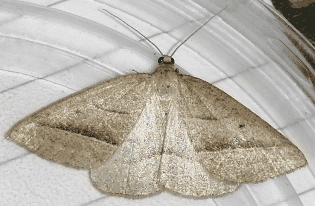 The Brown Silver Line Moth