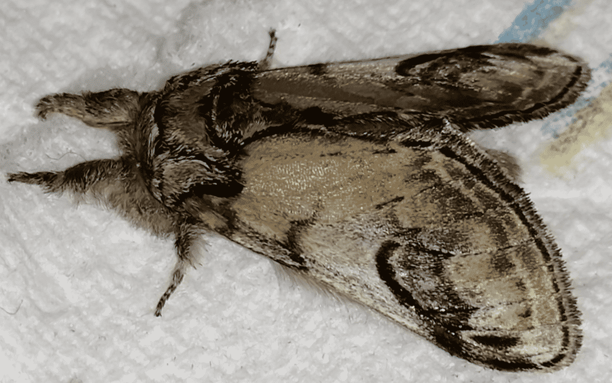 The Pebble Prominent Moth