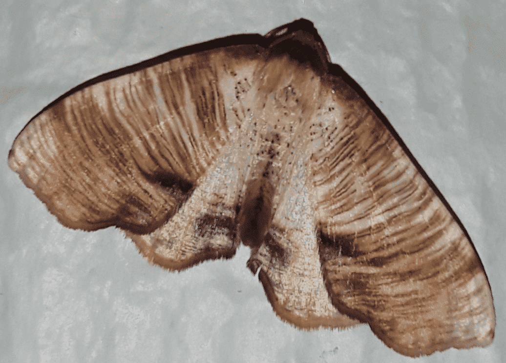 A Scorched Wing Moth