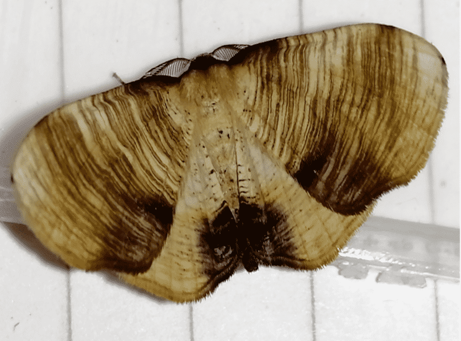 The Scorched Wing Moth