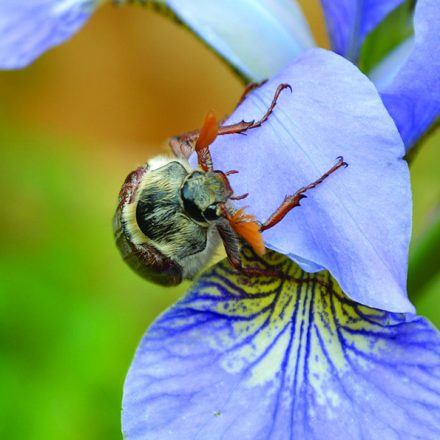 A May Bug on a blue flower