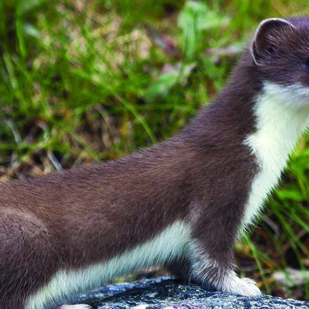 A weasel standing on a rock